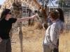 The friendly giraffe