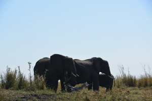 Plenty of food for the elephants on the Namibian side of the Chobe river.