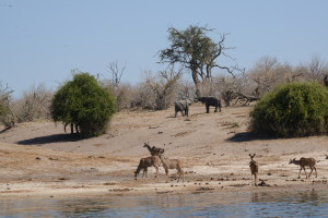 Almost nothing left to eat on the Botswana side.