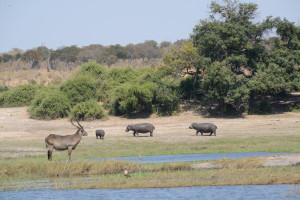 A decent waterbuck keeping an eye on a small pod of hippos.