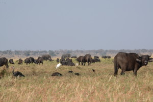 Buffalo and elephant by the thousands.