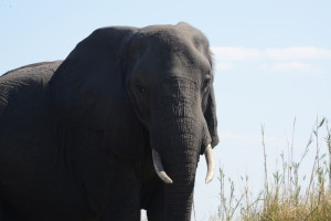 """While not the elephant we saw that evening this mature animal's small tusk would make it a candidate for an """"own use"""" animal."""