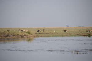 The Lechwe is a relative of the waterbuck.  We evidentially got too close for comfort to this group.