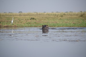 Hippos were everywhere and can move surprisingly fast.