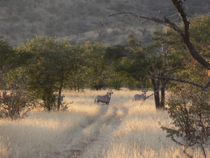Gemsbok down off the mountains at last light.