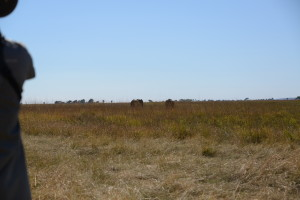 Standing behind Professional Hunter Johann Veldsman while he judges the mood of the elephants. (Approximately 50 yards)