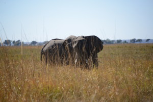 A little closer at 30 yards. On the ground, looking through the tall grass at the world's largest land animal.