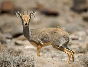 the tiny Dik-Dik and everything in between