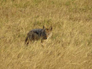 I don't know if this jackal was hungry, brave, stupid, or some combination of the three. But he was almost patiently looking for some leftovers.