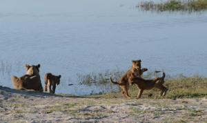 The lioness and her cubs were the highlight of the day