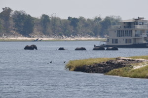 Elephants crossing the Chobe River. Our houseboat is in the background.