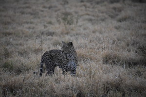 Beautiful lady leopard