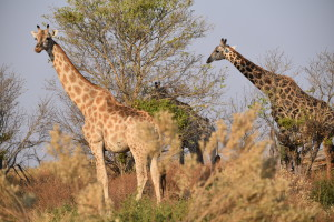 Notice the darker colors of the older giraffe?