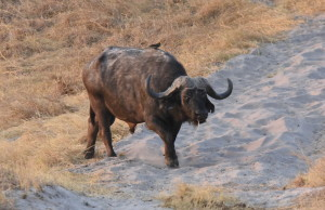 I really wanted this old buff. Wide and deep with a large boss. Note the oxpecker on his back. This little bird helps the buffalo with ticks and other insects.